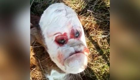 Conmoción en Santa Fe: nació un ternero con el rostro parecido al de un humano