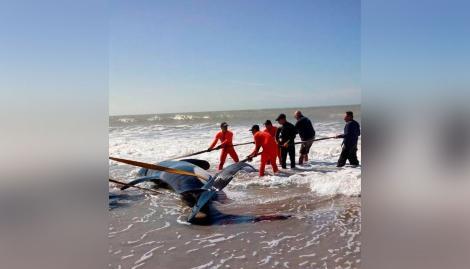 Orcas varadas en Mar Chiquita: un especialista en cetáceos explicó las claves para un rescate exitoso
