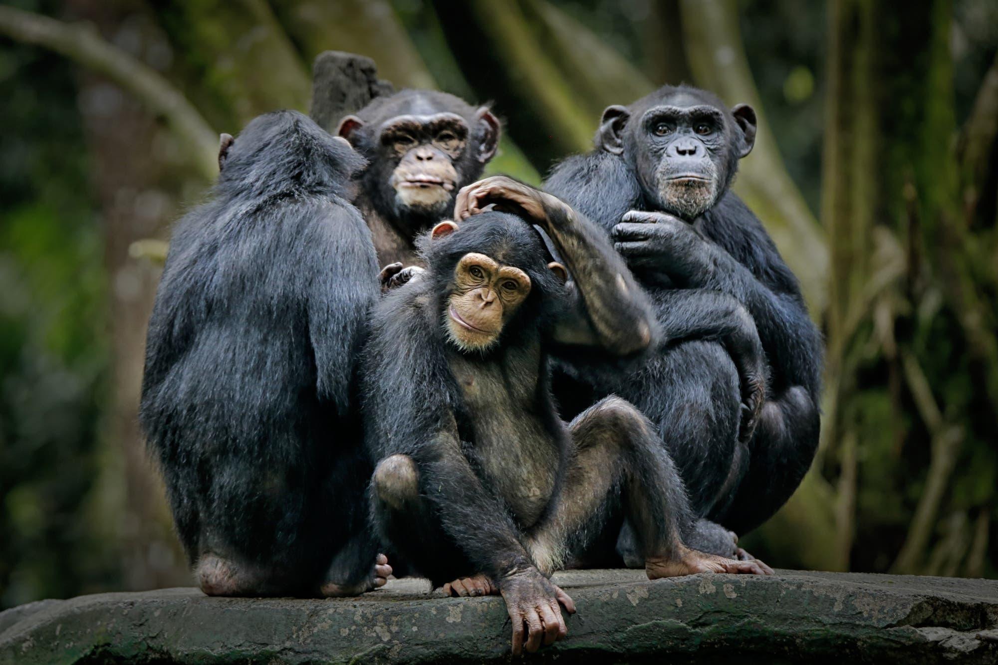El reconocimiento facial ahora se utiliza para mejorar el estudio de los chimpancés