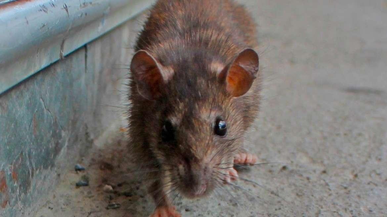 Por una invasión de ratas cerraron los accesos a lagos en la cordillera patagónica