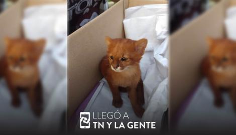 Tucumán: lo crió como un gato, pero en realidad era un puma
