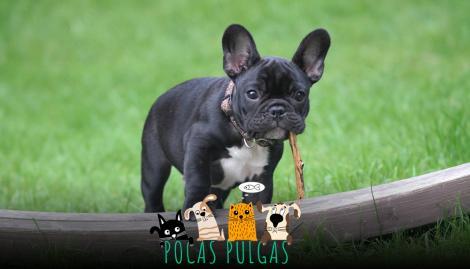 ¿Por qué el Bulldog Francés se volvió popular entre los argentinos?