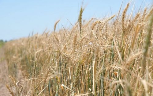 Cuáles son los números de la exportación de trigo argentino