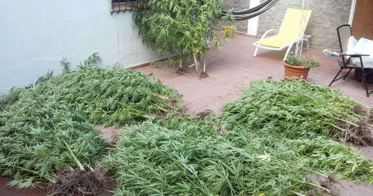 alerta-por-el-aumento-de-viveros-de-marihuana-en-un-distrito-mendocino:-incautan-mas-de-100-plantas-en-un-mes